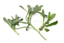 七草粥の由来は?『春の七草』とは?種類とそれぞれの意味も紹介!のサムネイル画像