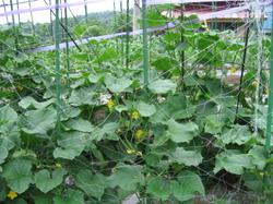 きゅうりの育て方・栽培方法!病気や害虫に注意!苗を植える時期はいつ?のサムネイル画像