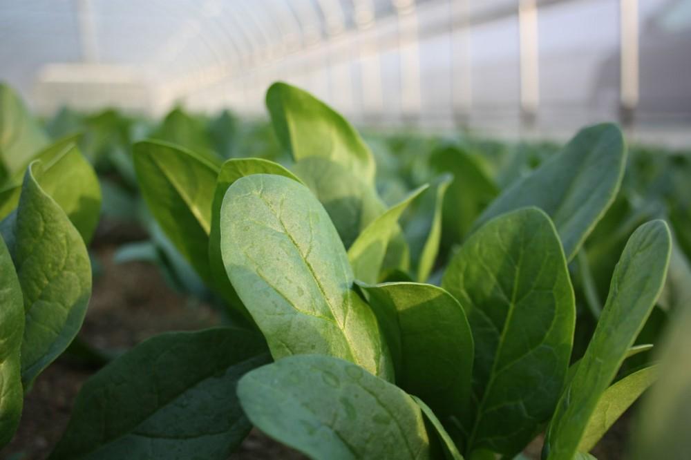 ほうれん草を冷凍保存!上手な作り方・仕方や期間を調べてみた!のサムネイル画像