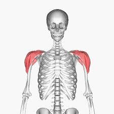 サイドレイズの正しいフォームややり方まとめ!適切な重量と注意点は?のサムネイル画像