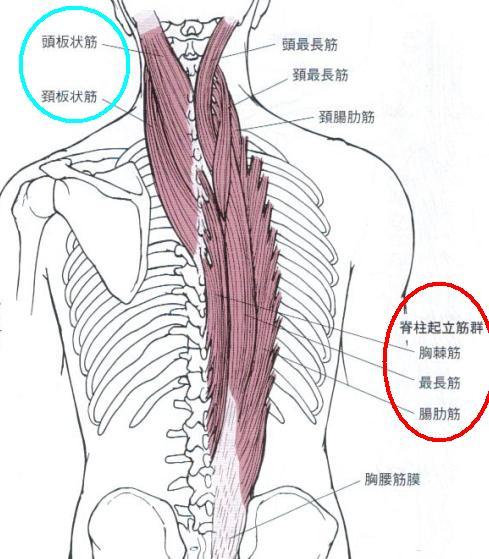 脊柱起立筋ってどの部分?体への作用や役割は何?痛みの原因もまとめました